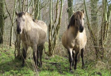 Konikpaarden Osbroek