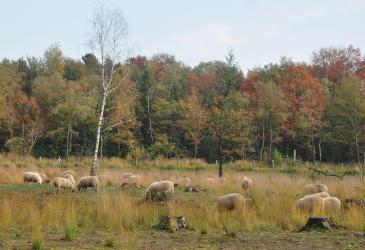 schapenbegrazing_in_nieuwe_bossen_luc_van_assche