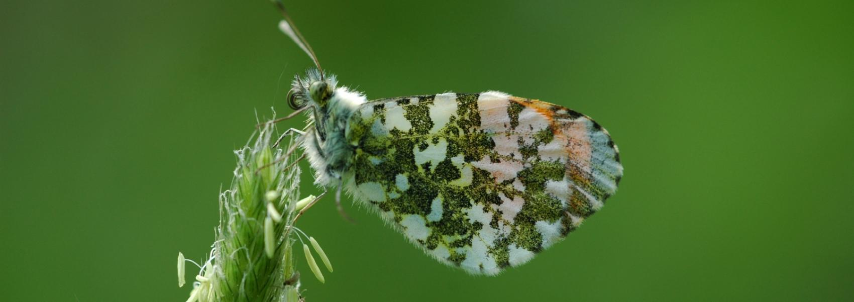 oranjetipje (vlinder)