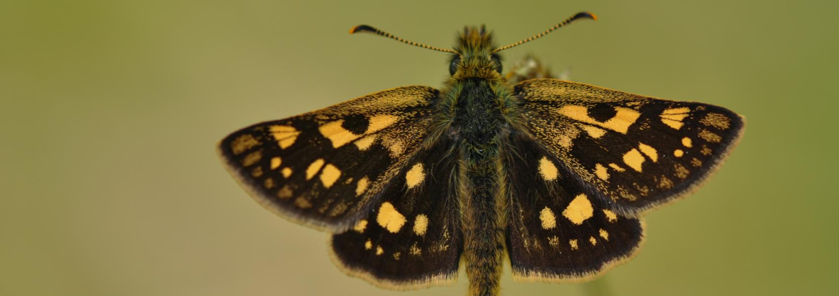 bont dikkopje (vlinder)