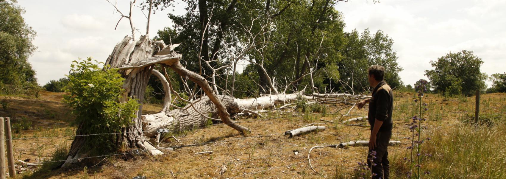 boswachter bekijkt dode omgevallen boom