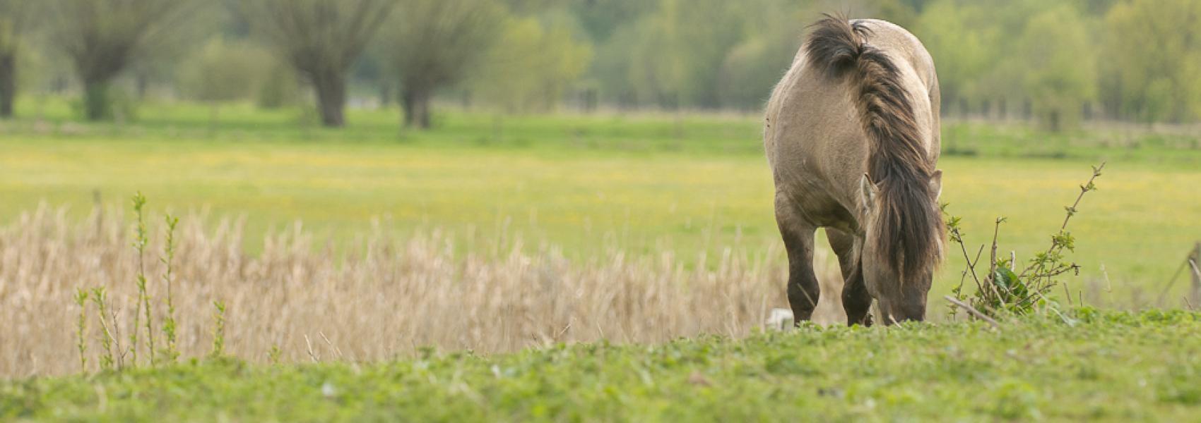 konikpaard in het landschap