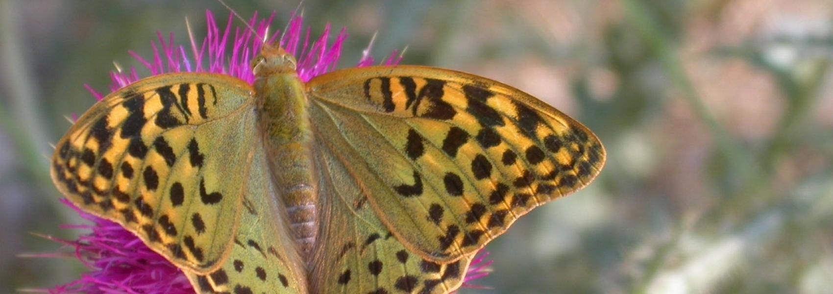 keizersmantel (vlinder)