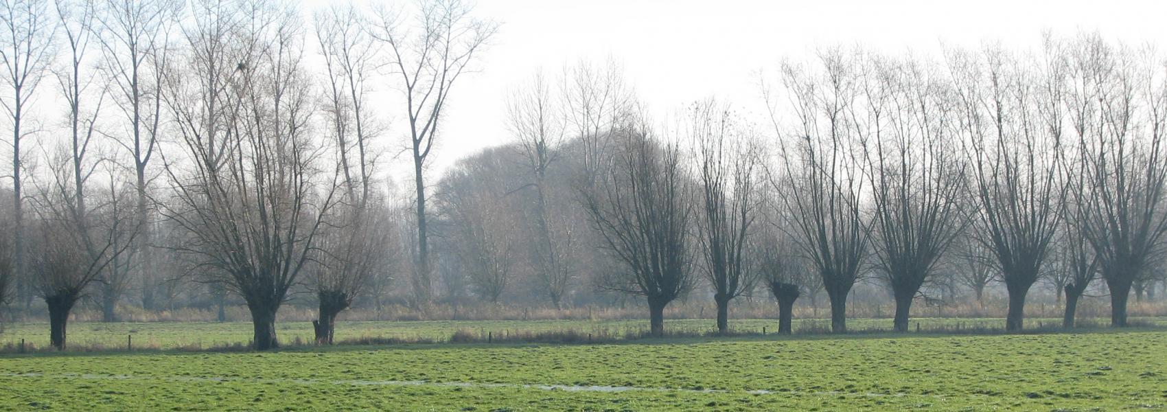 rij knotwilgen in het landschap