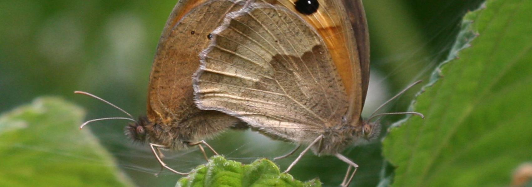 2 bruine zandoogjes (vlinder)