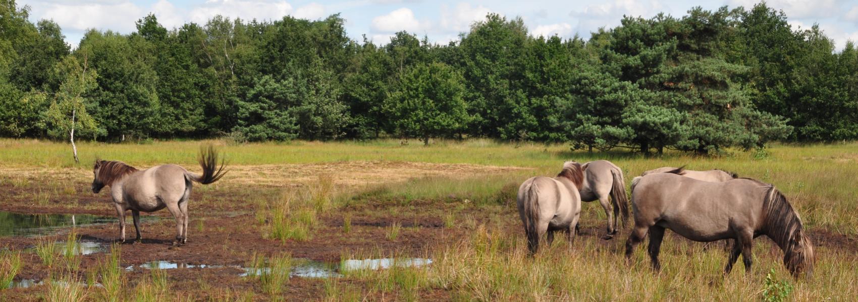 konikpaarden in Abtsheide
