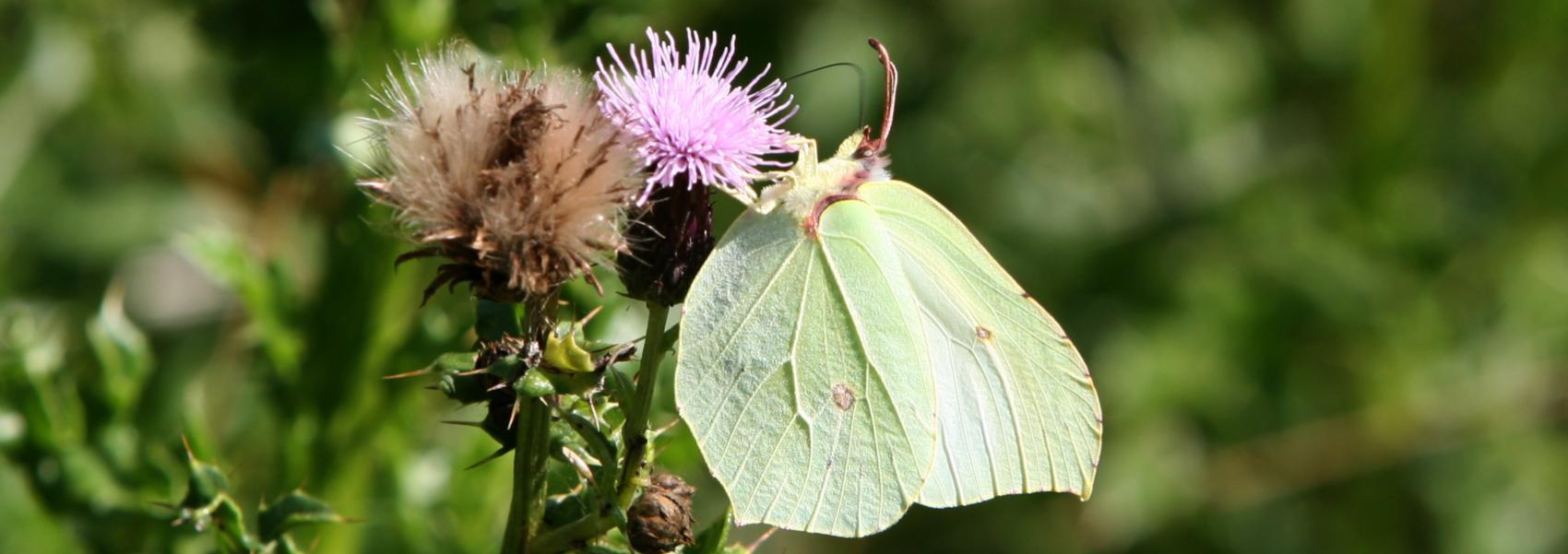 een vlinder op een bloem