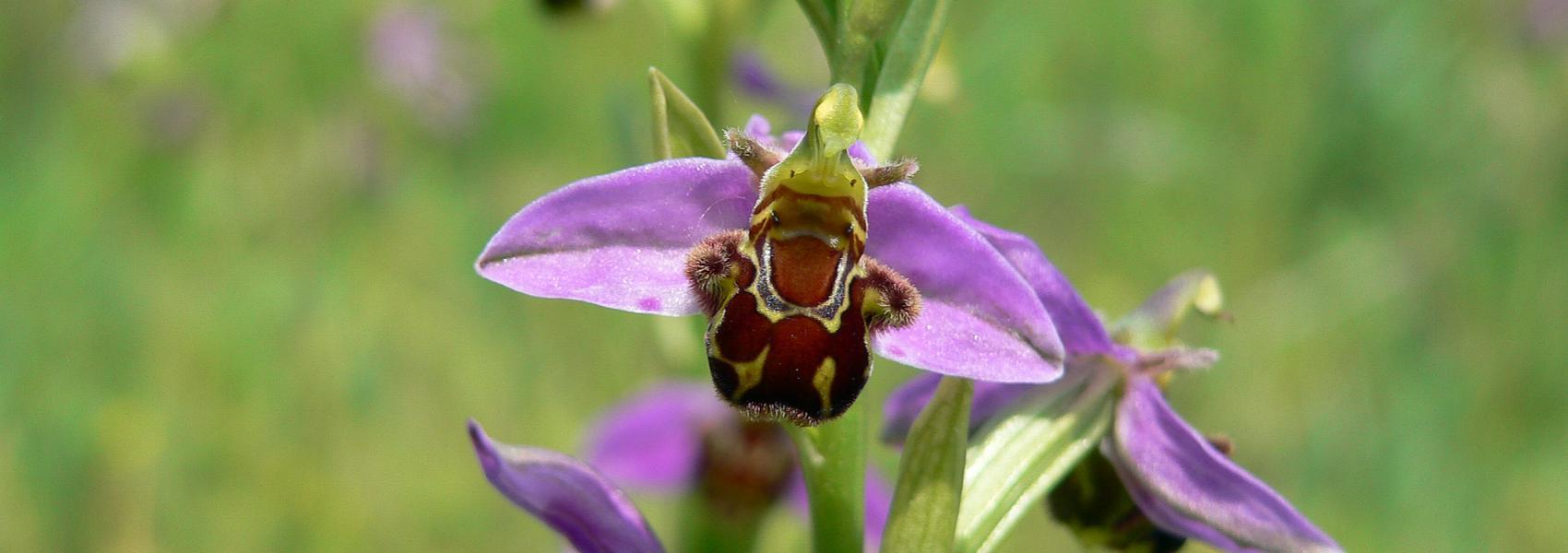 een bijenorchis