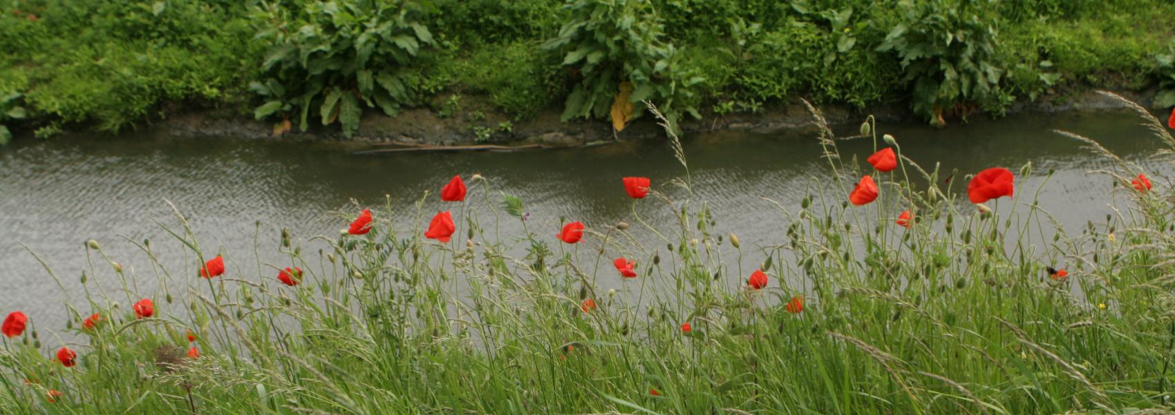klaprozen langs de waterkant