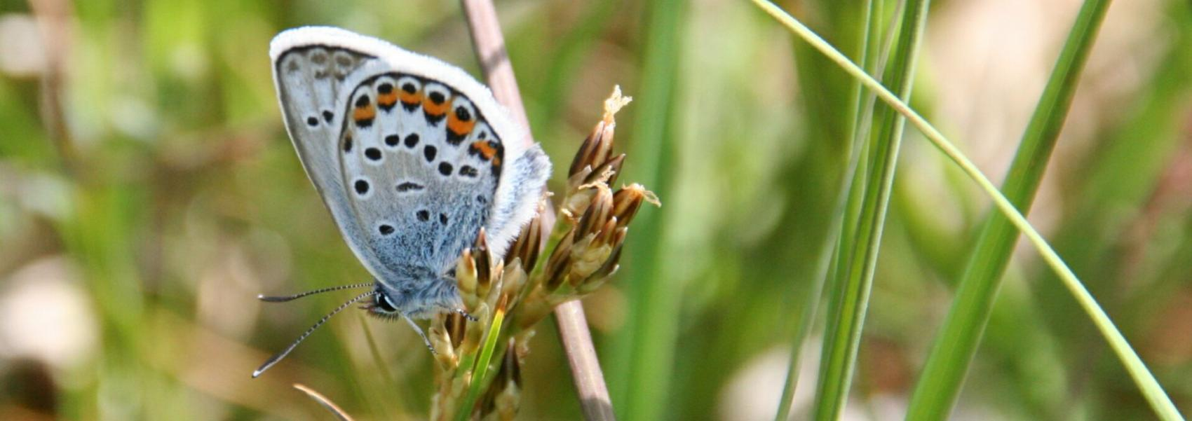 heideblauwtje (vlinder)