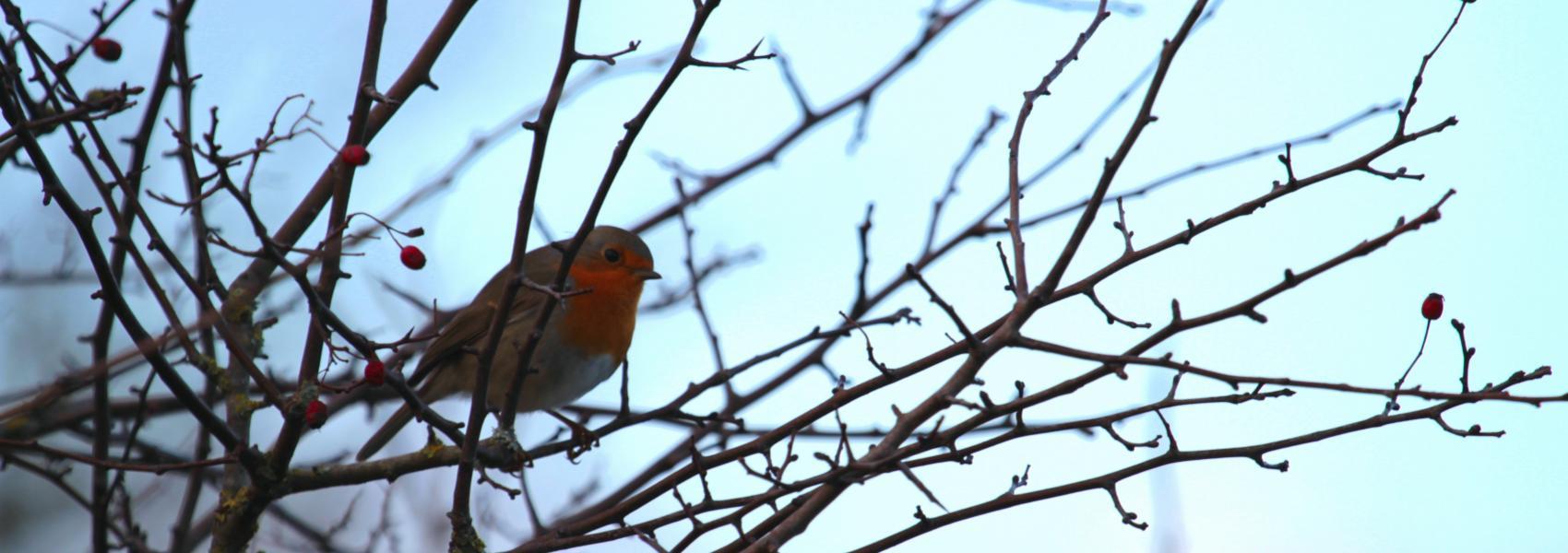 roodborstje in boom