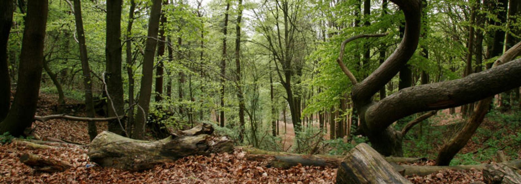 Kluisbos dood hout
