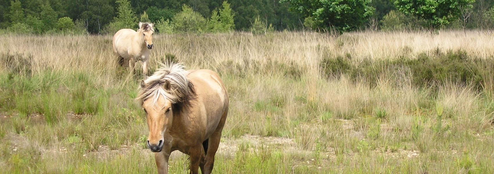 Koninkspaarden