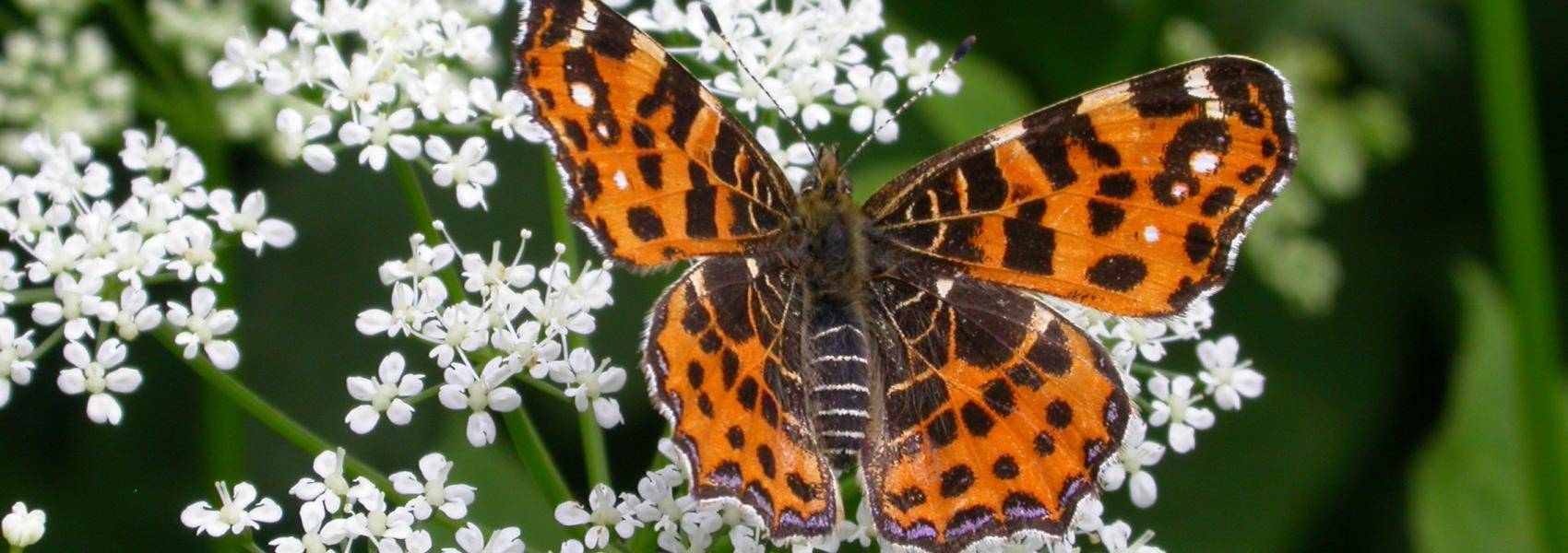 landkaartje (vlinder)