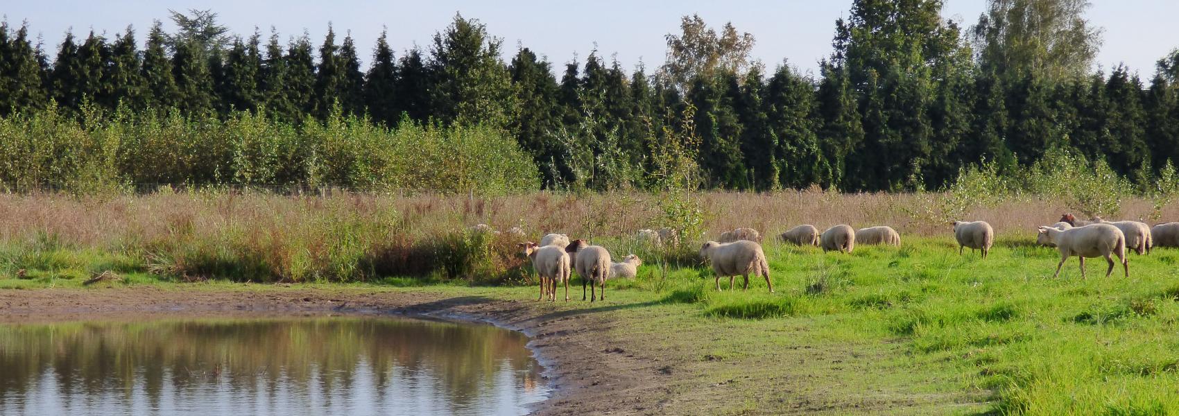Grazende kudde schapen in Parkbos