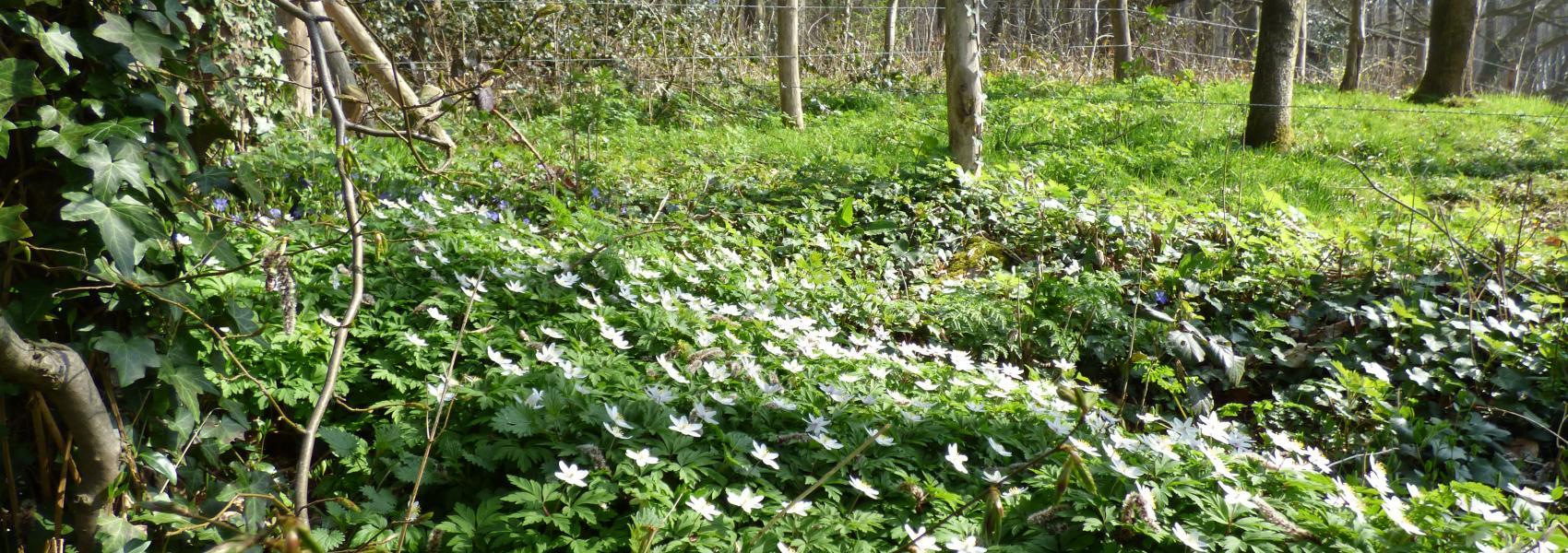 witte bloemenweide in het bos