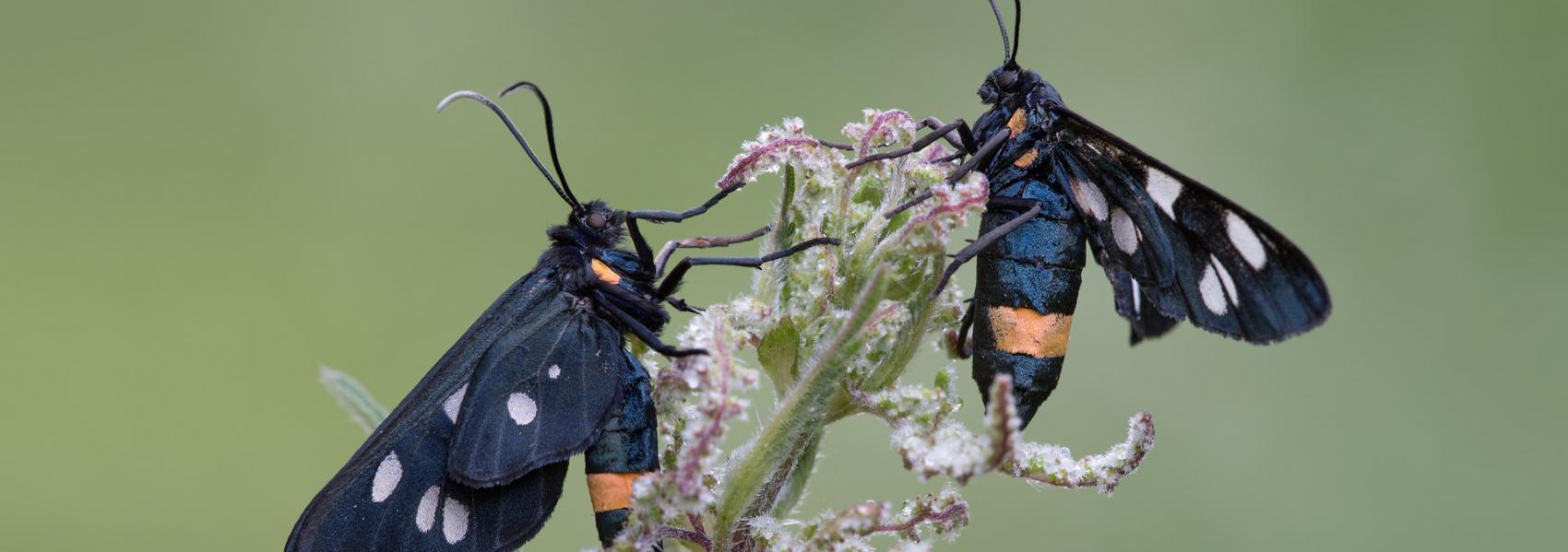 Phaegea vlinder
