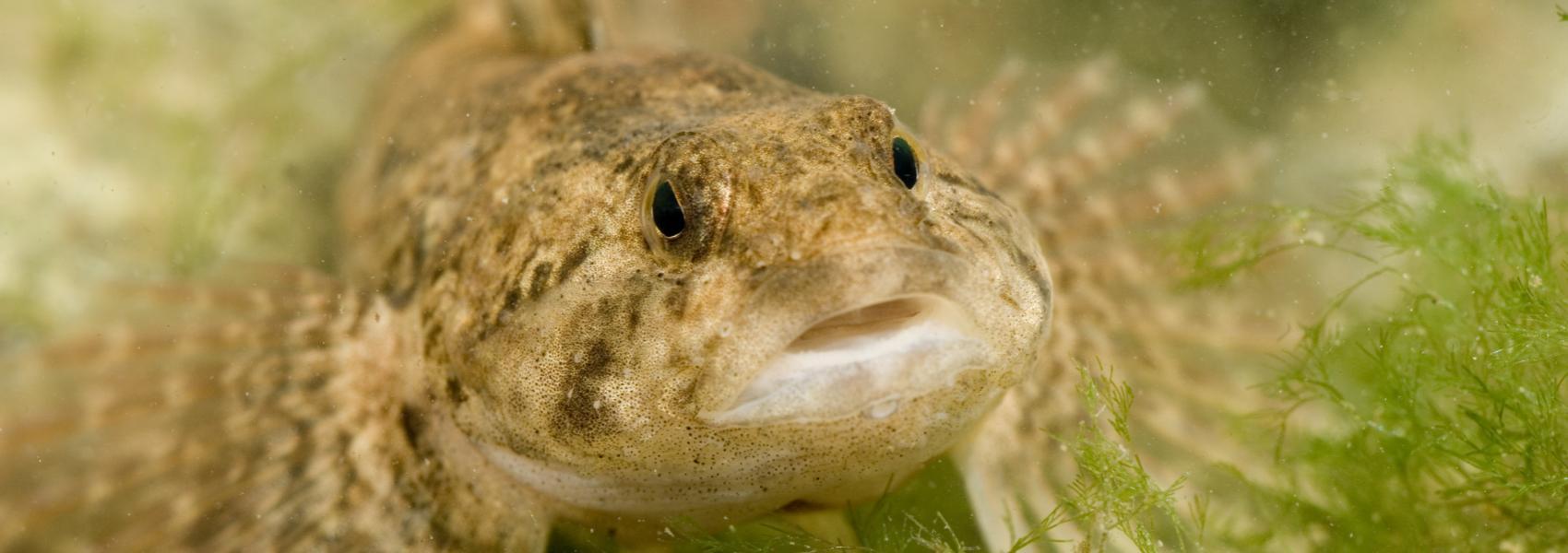 rivierdonderpad