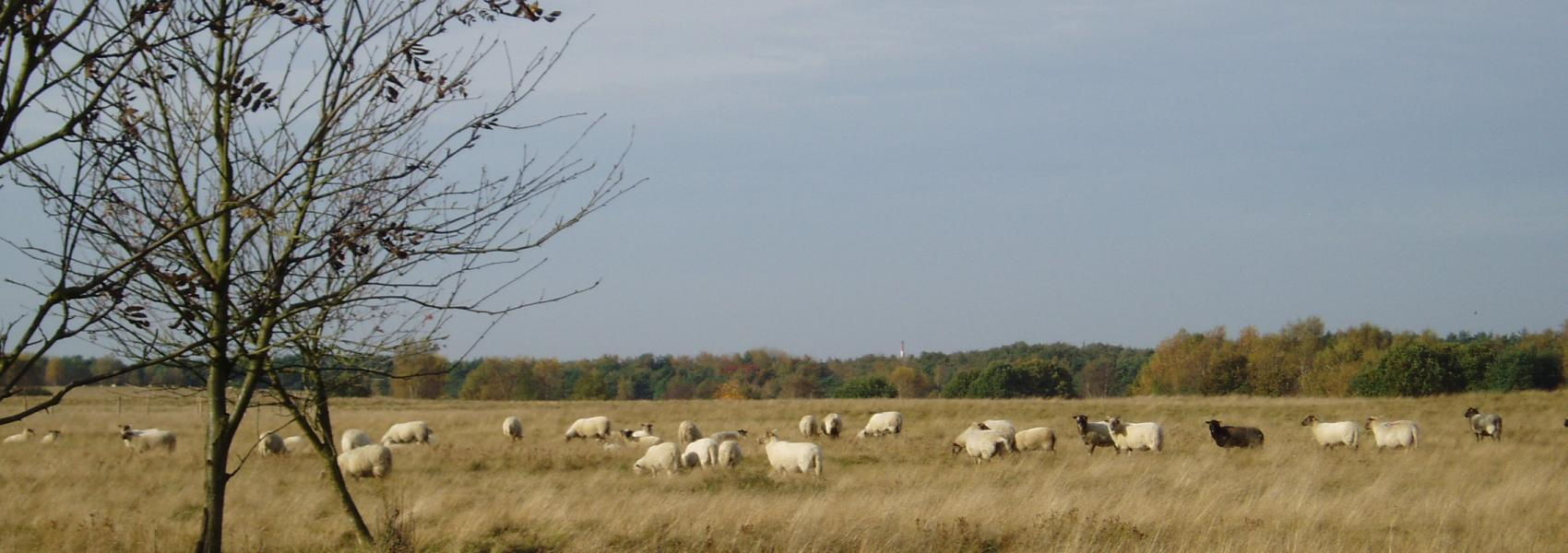 schapen in het landschap