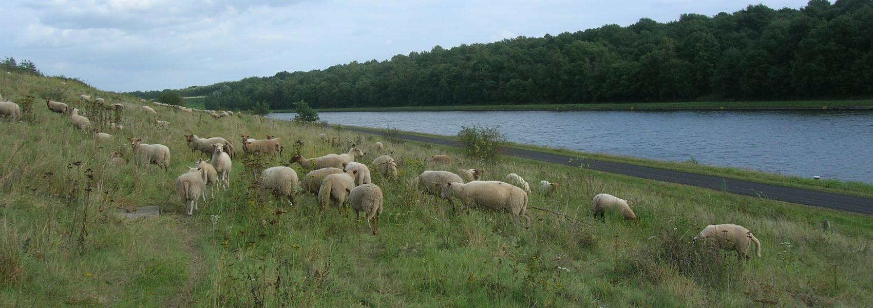 schapenbegrazing