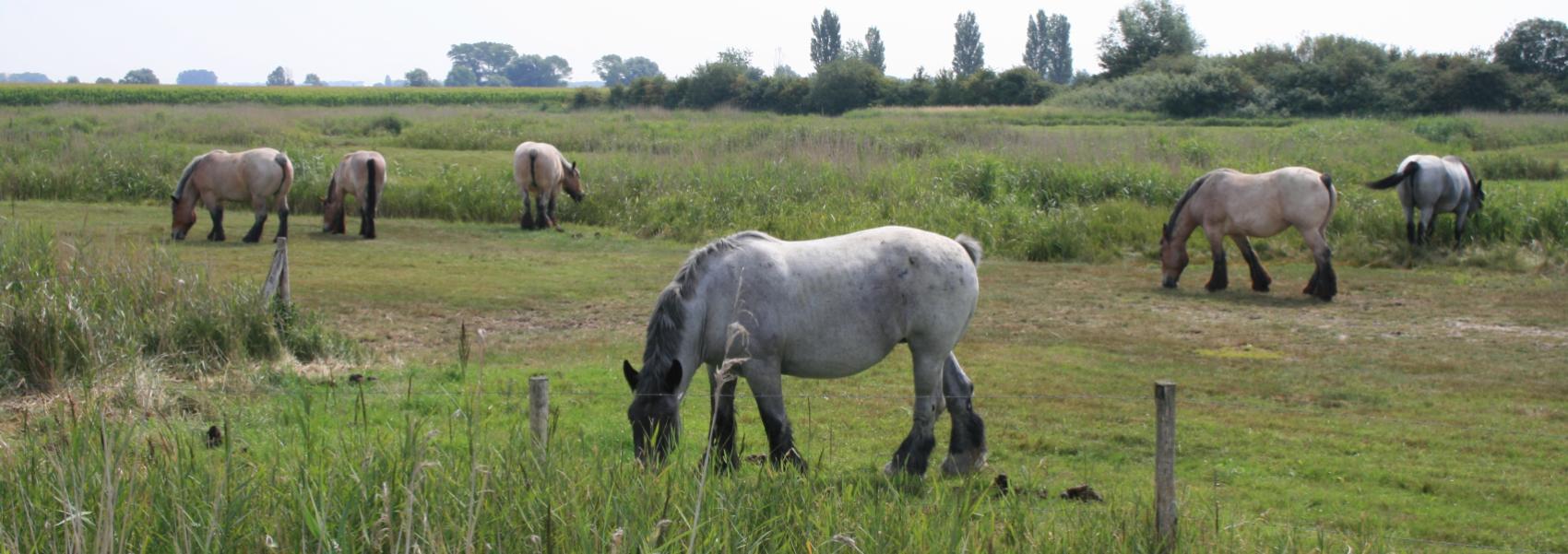 begrazing door paarden in de schorreweide