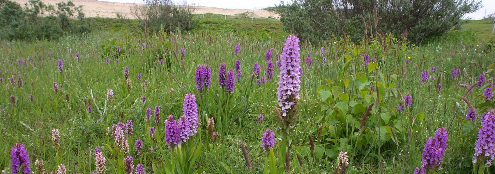 orchideeënweide