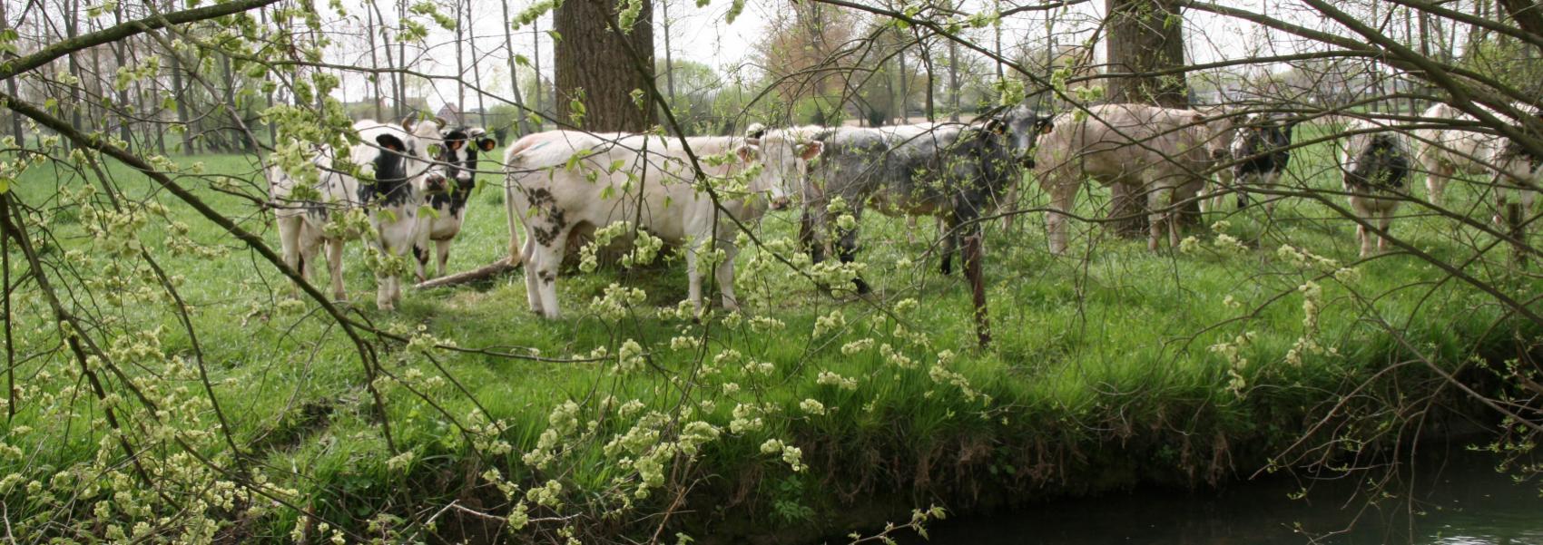 koeien langs het water