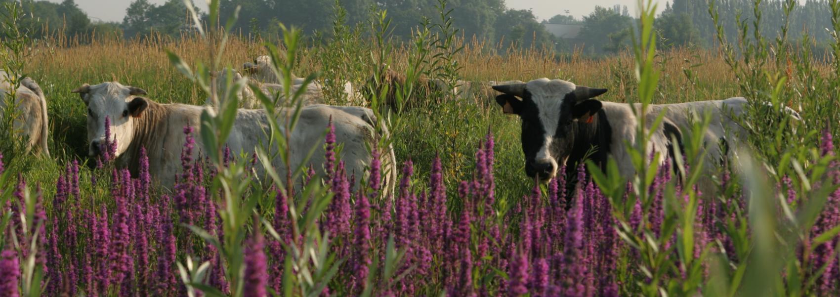 paarse bloemen met daar achter koeien