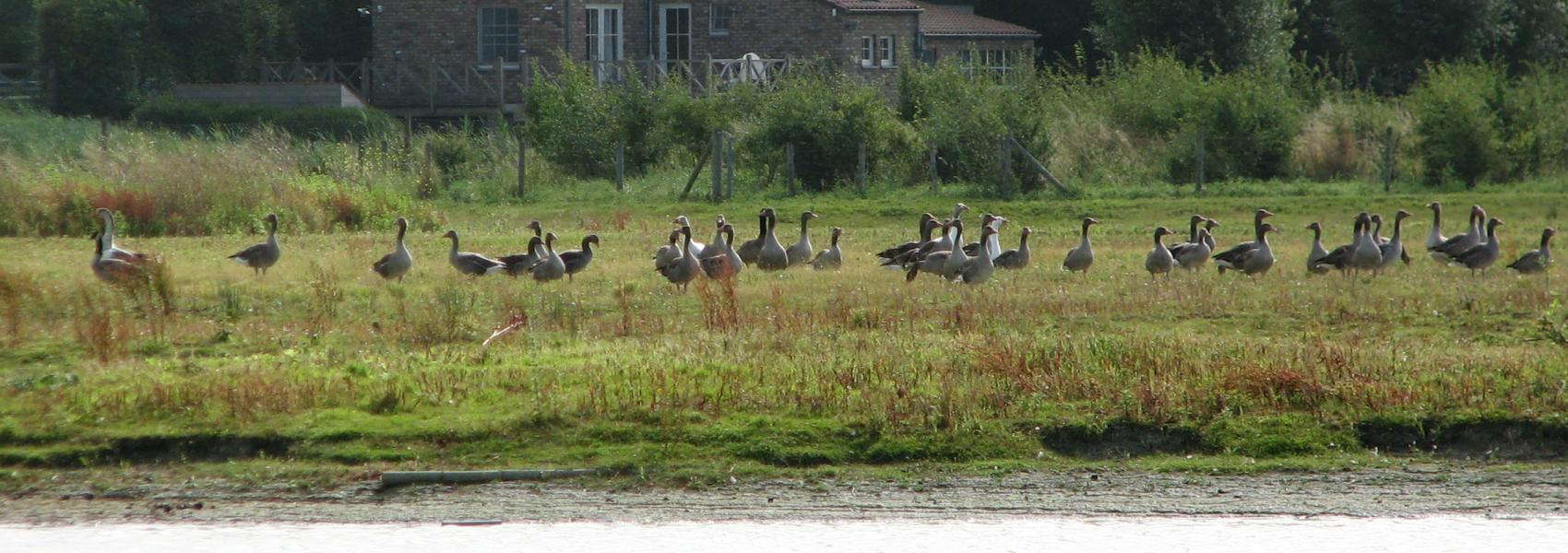 groep ganzen bij het water