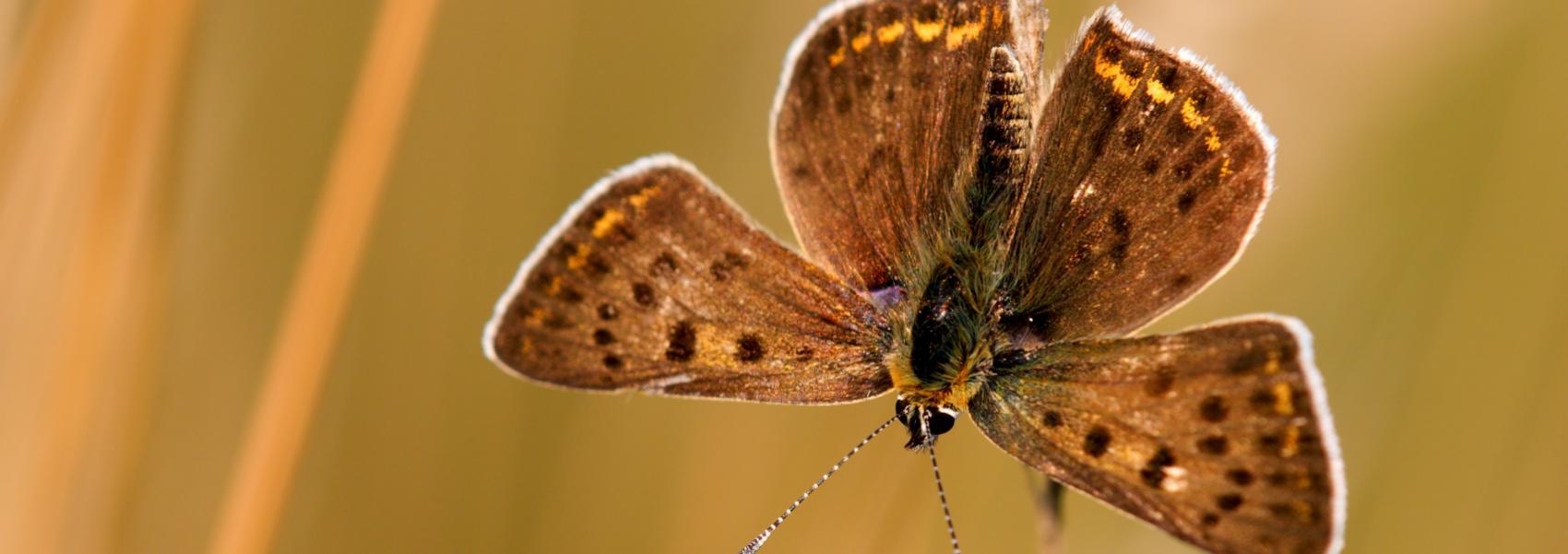 Bruine vuurvlinder