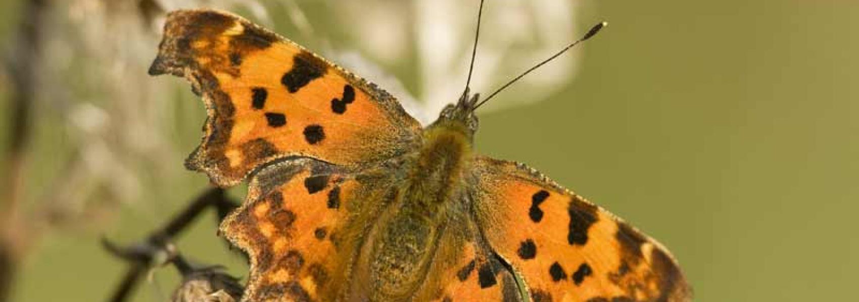 Gehakkelde aurelia (vlinder)