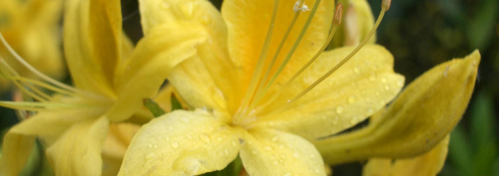 een gele bloem
