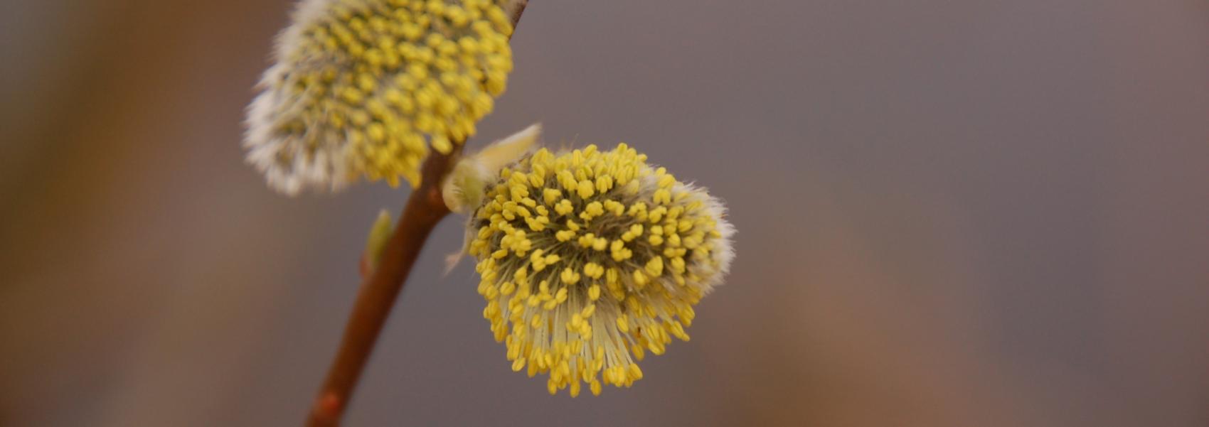 wilgenkatjes in bloei in Notelaer