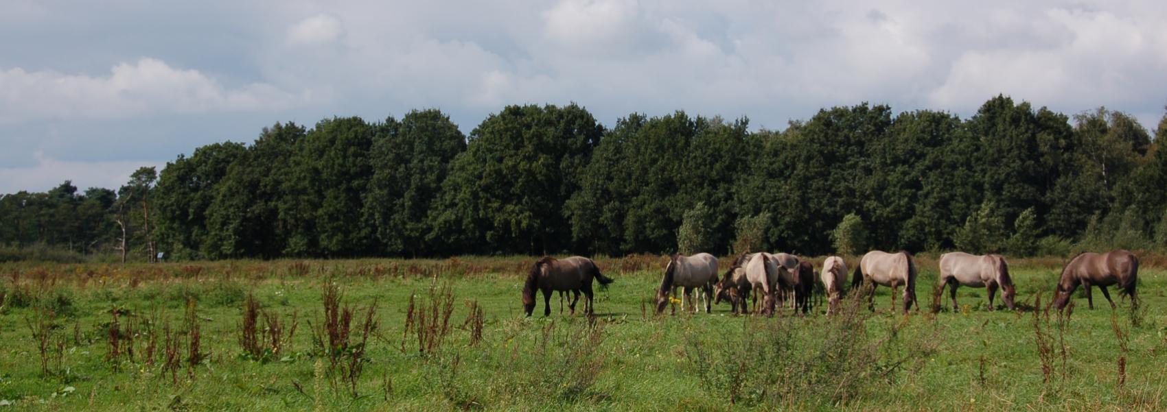 grazende konikpaarden met op de achtergrond bomen