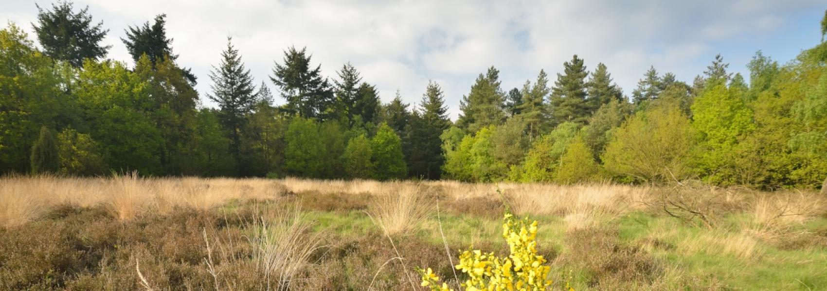 Heide in de Achtertse en Wildertse Duintjes
