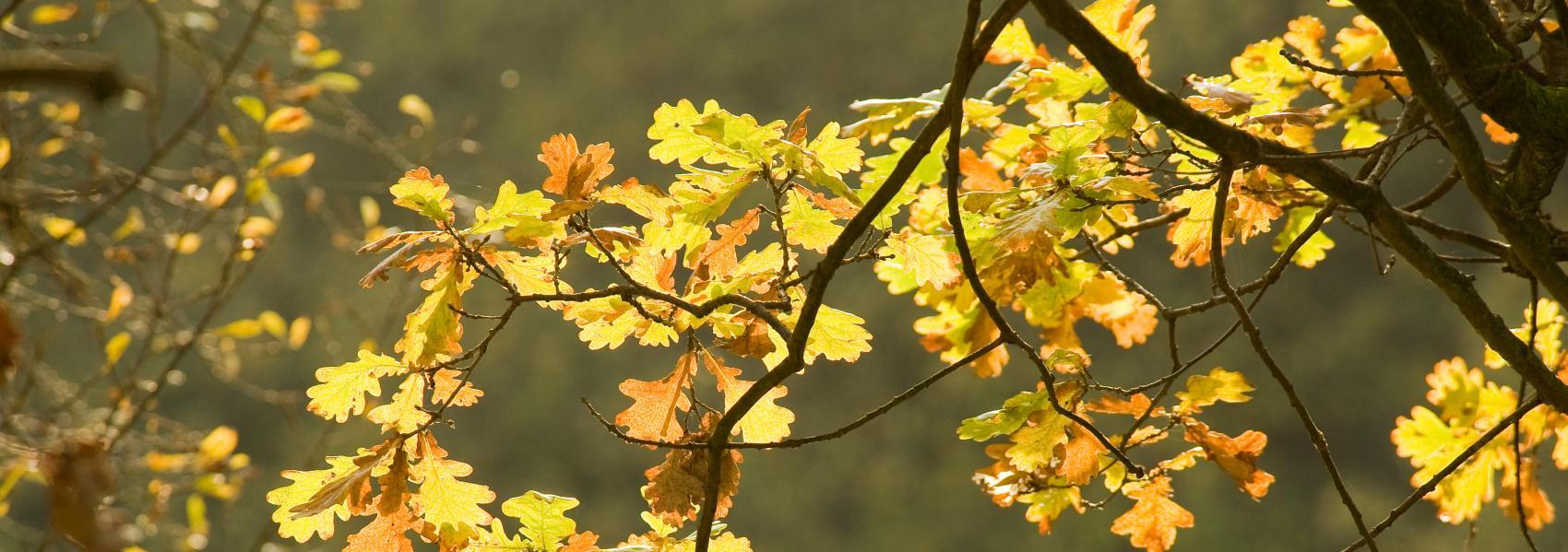bladeren van de zomereik