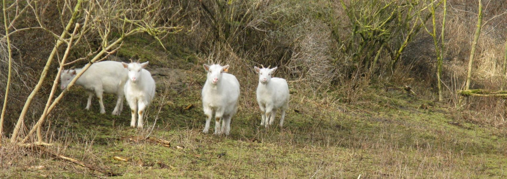 4 witte geitjes